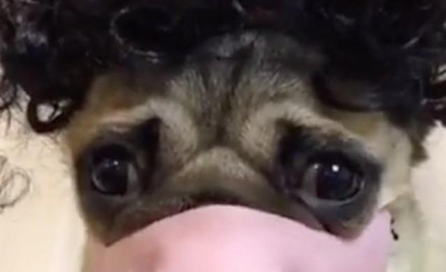 マスクを付けたパグ犬.jpg