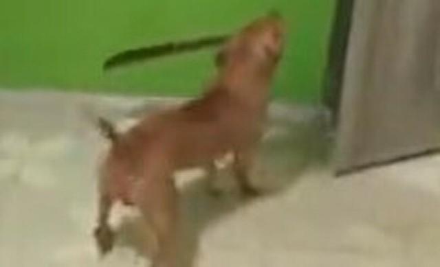 マチェテで襲ってくるピットブル犬.jpg