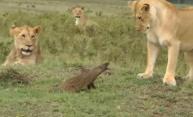 マングース対ライオン.jpg