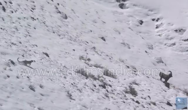 ユキヒョウが崖を落下.jpg
