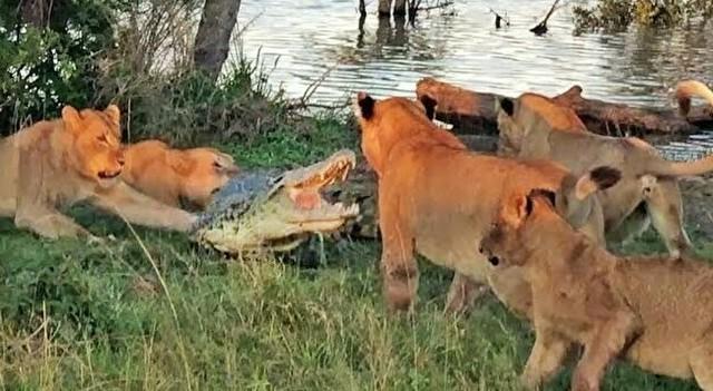 ライオンとワニのガチンコ対決。.jpg