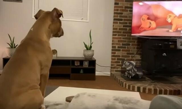 ライオンキングを見た際のイヌの反応.jpg