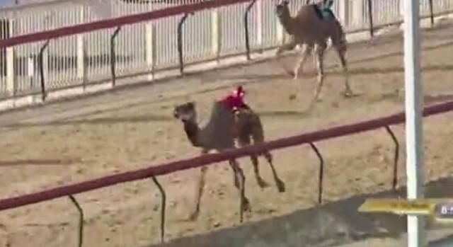 ラクダレースでラクダが心臓麻痺.jpg