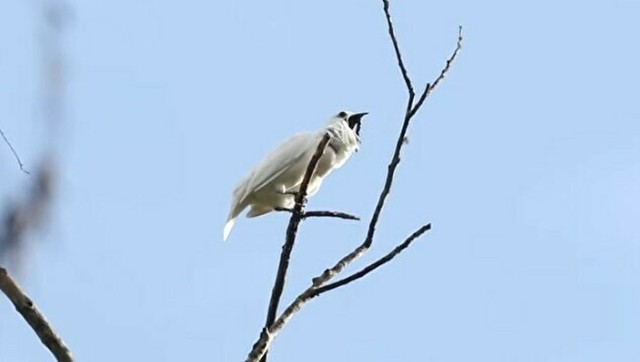 世界で最もうるさい鳥.jpg