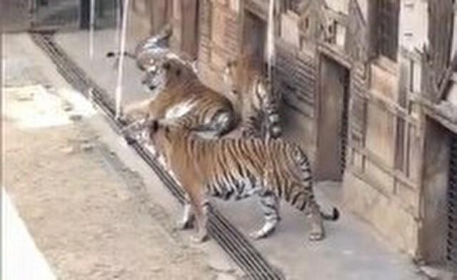 中国の動物園でトラを釣る.jpg