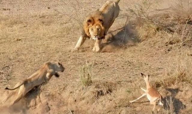 二尾を追うものは一尾を得ずライオン.jpg