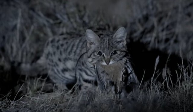 史上最強のネコ科動物、黒足ネコ.jpg
