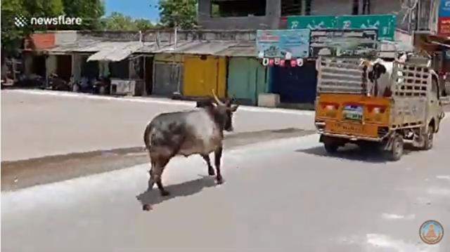 売られて行く牛を追いかけるウシ.png