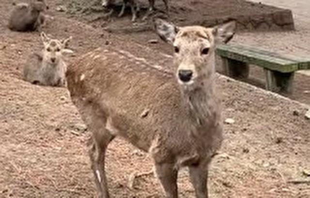 奈良のシカが少女を襲う.jpg