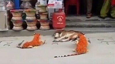 寝ているワンちゃんの前にトラのぬいぐるみを置いて起こすとこうなったwww.jpg