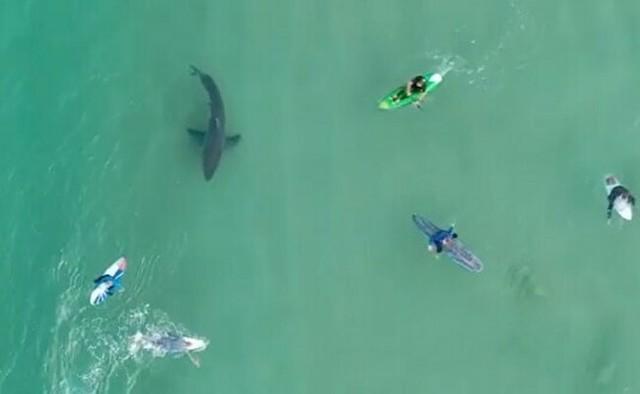 巨大なホオジロザメと泳ぐサーファーたち.jpg