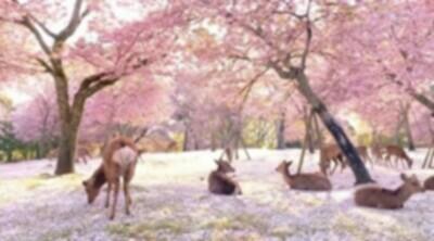 日本の桜の奈良公園が異世界の様.jpg