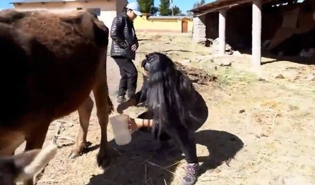 牛の乳しぼりでのハプニング.jpg