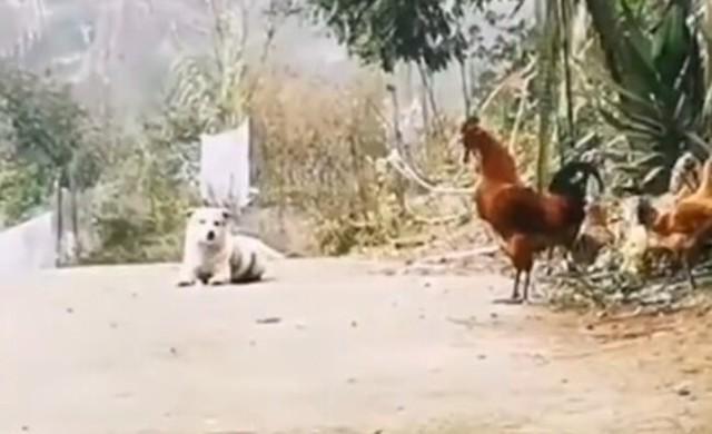 犬が鶏の鳴き声をまねる.jpg