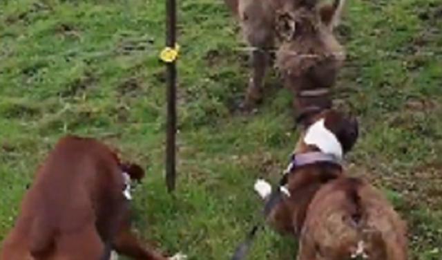 犬を電気柵の罠に誘い嵌めたロバが勝利の高笑い.png