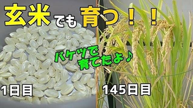 玄米を植えると発芽する.jpg