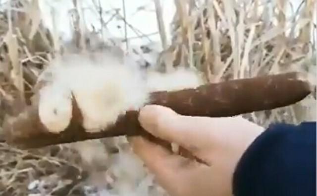 綿を出すガマの映像が凄い.jpg