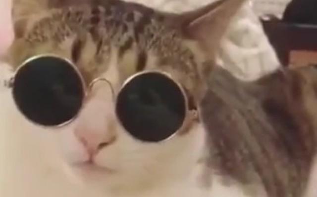 自分でサングラスをかけるネコ.jpg