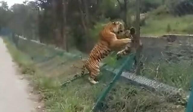 野生のトラと動物園のトラのケンカ.jpg