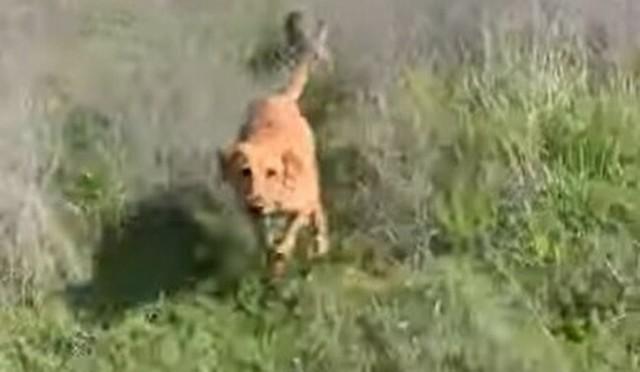 飼い犬がコヨーテに襲われる.jpg