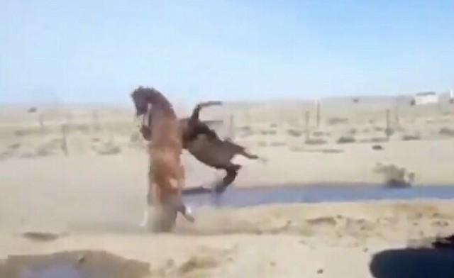馬のケンカで柔道技.jpg