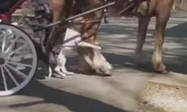 馬車ウマに噛み付くピットブル.jpg