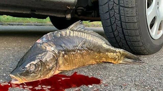 魚を車で潰す実験.jpg
