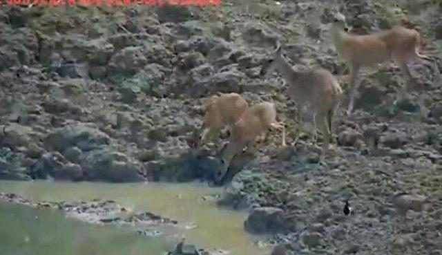 鹿系の生き物が何かに襲われる.jpg