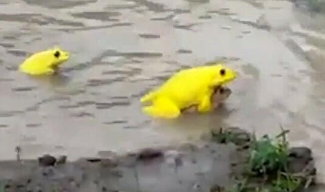 黄色いカエルだらけになった水たまり.jpg