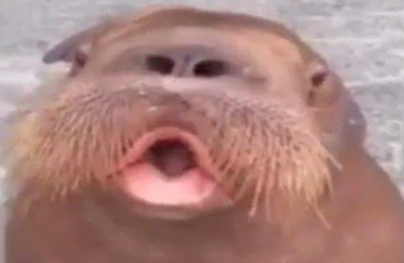 セイウチの魅惑の口笛