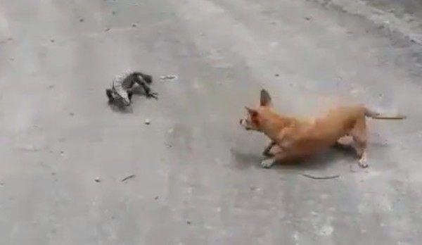 犬とトカゲの勝負