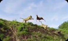 ライオンがアンテロープを崖から落とす
