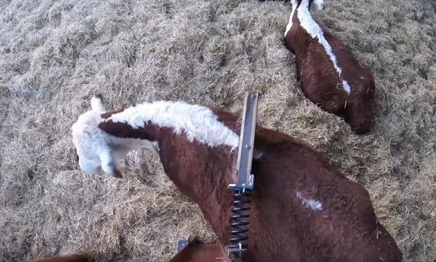 背中を掻く牛
