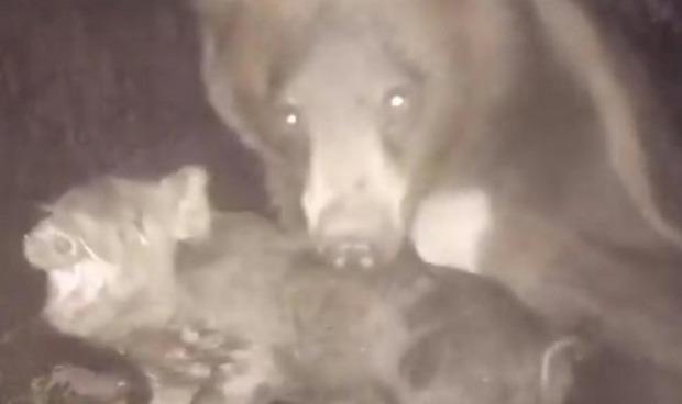 クマが豚を捕らえる定点カメラ