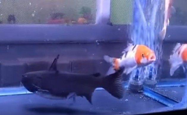 バトラクトキャットフィッシュの捕食