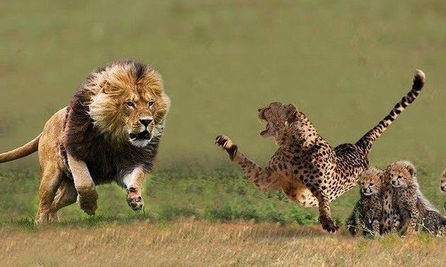 ライオン対チーター