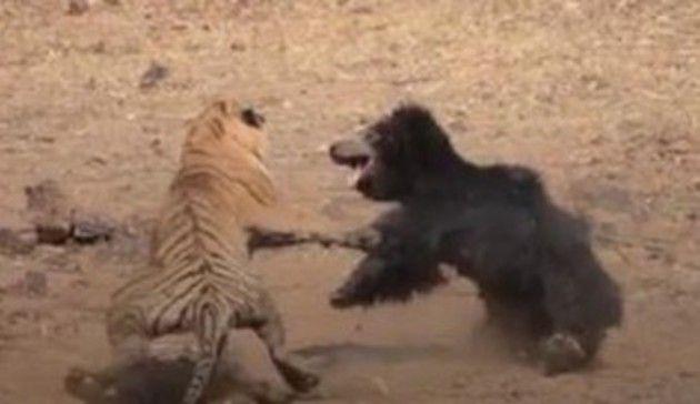 クマと虎の戦い