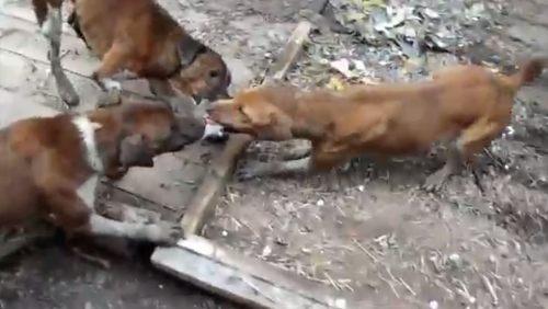 イヌの鼠狩り