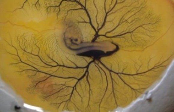 卵黄嚢動脈にインク注入
