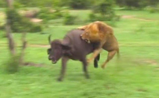ライオンが水牛を狩る狩り