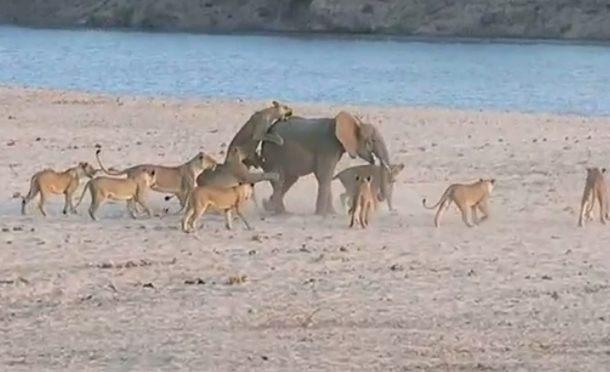 14頭のライオンと戦う小象