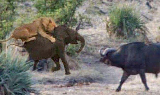 水牛が仔ゾウを助ける