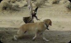 タカがイヌを襲う動画