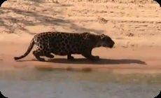 ジャガーがカピパラを捕食する
