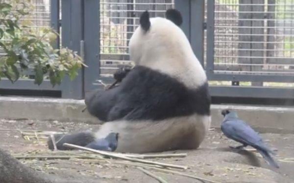 パンダの毛を抜くカラス