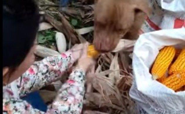 トウモロコシの皮を剥くワンコ