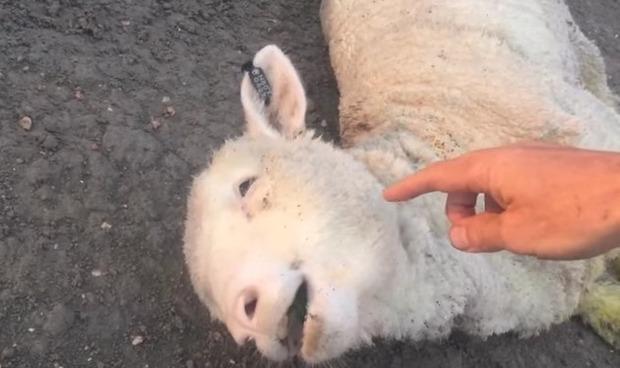 羊をひき殺してしまった男