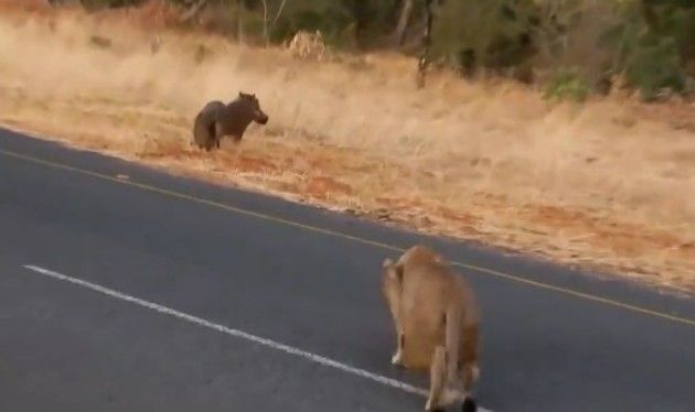 ライオンがイノシシを狩る