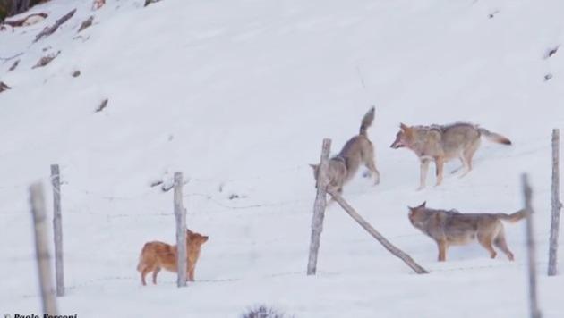 イヌがオオカミに襲われる