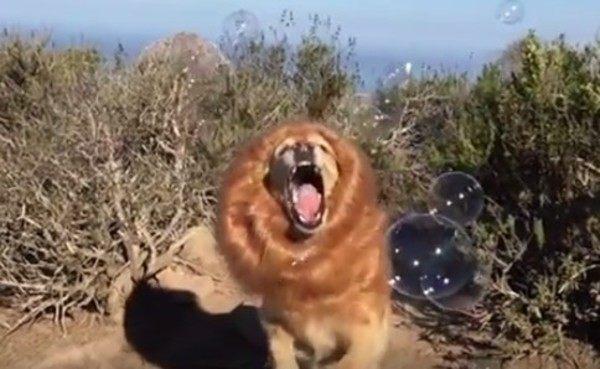 シャボン玉を食べる偽ライオン